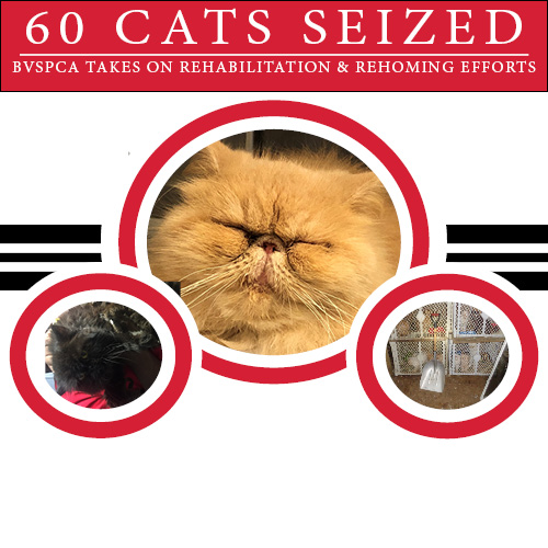 BVSPCA Removes 60 Cats from Home in West Whiteland Township