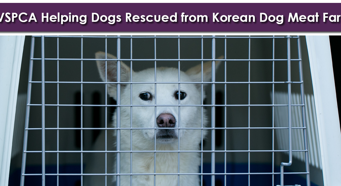 BREAKING: BVSPCA Helping Dogs Rescued from Korean Dog Meat Farm