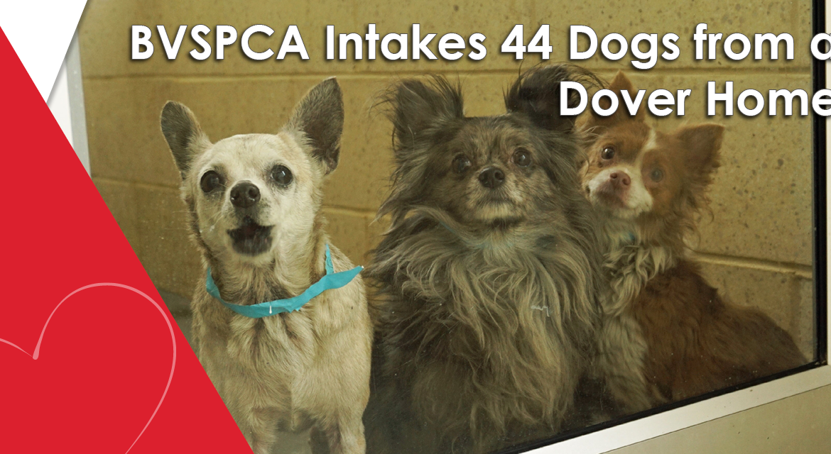 BVSPCA Intakes 44 Dogs from a Dover Home