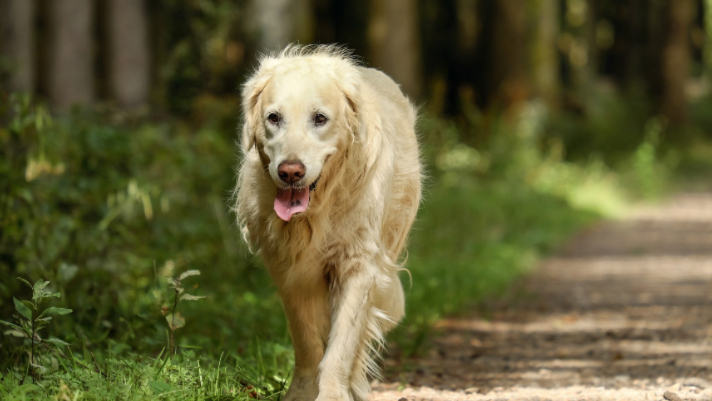 Helping Dogs with Arthritis Live Comfortably